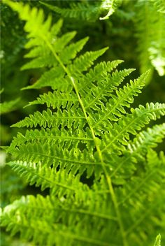 Genus: Athyrium Species: filix-femina Plant type: Hardy perennial Foliage colour: Mid-green Feature: Dramatic foliage Sun exposure: Partial shade, Shade Soil: Acidic, Chalky/alkaline, Moist, Boggy Hardiness: Hardy Skill level: Experienced Height: 120cm Spread: 60cm Time to divide plants: March to May
