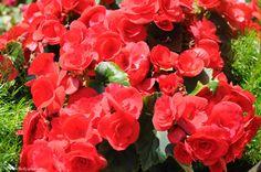 Alattomos mérgek az otthonodban - gyönyörűek, de veszélyesek - Egészségtér - Természetes egészség Plants, Garden, Begonia, Rose, Flowers