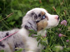 Blue eyes aulstralian shepard pup
