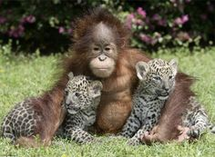 This orangutan who adopted these babies. | 29 Examples Of Animals Helping Their Interspecies Friends