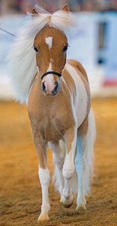 Beautiful Arabian Horses, Pretty Horses, Horse Love, Poney Miniature, Miniature Ponies, Tiny Horses, Show Horses, Horse Photos, Horse Pictures