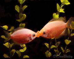 Kissing Guorami (Helostoma temminckii)