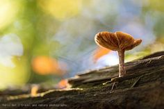 Autumn is the time of mushrooms. I spent a whole afternoon looking for a beautiful picture in the woods. There were more than enough fungi, but most of them grow in foliage or branches, so they can't be ideally shown on a photo. Fortunately, this small specimen grew a little exposed on an old tree trunk.