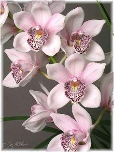 So sweet pink orchids ♥ - Flower ,Butterfly, Ladybug! Unusual Flowers, Amazing Flowers, Beautiful Flowers, Cymbidium Orchids, Pink Orchids, Tropical Flowers, Orquideas Cymbidium, Orchidaceae, Sugar Flowers
