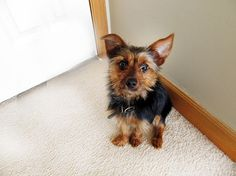 Yorkie Pin (Min Pin-Yorkie Mix) Info, Temperament, Puppies, Pictures