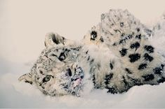 Snow Leopard by Ellen Cave