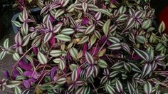 How to Grow Wandering Jew Plants Wandering Jew plants include several species within the Tradescantia genus. Normally grown as houseplants, they are extremely easy to grow. Purple Heart Plant, Purple Plants, Jade Plants, Colorful Plants, Cool Plants, Houseplants Safe For Cats, Wandering Jew, Low Light Plants, Smart Garden