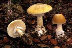 Amanita palloides (death cap)