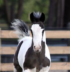 LEXIE, Shenandoah Gypsy Vanner Filly Gypsy Horse, North America, Horses, Animals, Image, Facebook, Sweet, Photos, Type 1