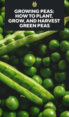 Growing Peas: How to Plant, Grow, and Harvest Green Peas