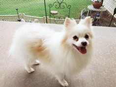 Meet Thor 2, an adoptable Pomeranian looking for a forever home. If you're looking for a new pet to adopt or want information on how to get involved with adoptable pets, Petfinder.com is a great resource.