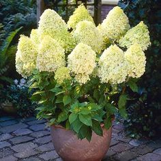 20 pcs/bag Hydrangea Paniculata 'vanilla Fraise' strawberry hydrangea seed bonsai flower seeds potted plant for home garden Hydrangea Tree, Hydrangea Seeds, Hydrangea Shrub, Limelight Hydrangea, Flower Seeds, Hydrangeas, Hydrangea Paniculata, Vanilla Strawberry Hydrangea, Low Maintenance Shrubs