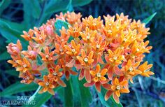 Milkweed. It's simple. Plant it to help save the monarch butterflies! via @Savvy .com Gardening  #GotMilkWeed