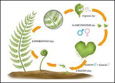 Naturarchives. Biodiversity.  Instituto Bidebieta Donosti. Plants. Ciclo reproductivo Diplohaplonte de un Helecho. Presenta alternancia de generaciones y se reproducen por esporas, en vez de por semillas. En la primavera, sobre el envés de las hojas, aparecen los esporangios (2n), estructuras esféricas que se disponen en grupos llamados soros. Con el tiempo seco, se rompe la pared del esporangio y se liberan las esporas. Cuando la humedad es óptima, las esporas germinan desarrollándose un…