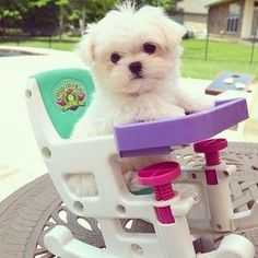 He fits in a baby doll high chair. | Monte The Maltese Is The Cutest Puppy You'll Ever Meet
