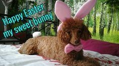 Happy Easter my sweet bunny    (tags: apricot fawn cute miniature poodle dog Leo Leonardo costume pink)
