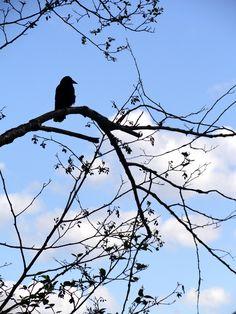 point park, crow