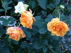 Ruusu, keltainen