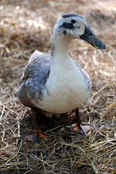 About Ancona Ducks - Moose Manor Farms