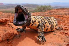 Scary Animals, Nature Animals, Animals And Pets, Reptiles And Amphibians, Mammals, Gila Monster, Creature Picture, Wild Creatures, Biomes