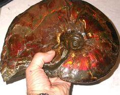 [SG] MASSIVE AMMONITE SPECIMEN   3400 GRAMS  [S9 ]  ammonite specimen , massive ammanite , fossil speciemn