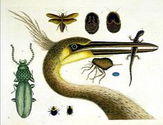 Mark Catesby's book The Natural History of Carolina, Florida and the Bahama Islands: Containing the Figures of Birds, Beasts, Fishes, Serpents, Insects and Plants.
