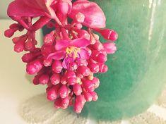 Beautiful Medillina Magnifica