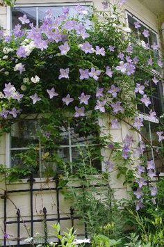 コンサバトリーの窓辺に誘引したクレマチスが満開になりました~(*^_^*) 優しいブルーのクレマチスが窓一面を覆っているのです☆ 気温が上がる季節は、この涼しげな色が涼を感じさせてくれます。。。 バラの誘引とは違って、クレマチスはほとんど私たちが誘引することはありませ...