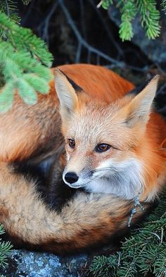 Beautiful Red Fox <3 #foxes #fox #cute #animals #cubs #cutie #wow #lol #gift #gifts #shirt #foxy #furry #animal #fuchs #füchse #raposo #renard