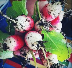 we are growing radishes, yes, for butter and sea salt adding