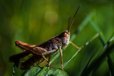 Grasshopper by Christian Wengg Christian, Photography, Animals, Animales, Animaux, Christians, Photograph, Fotografie, Animal