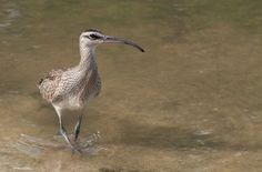 An emaciated and famished Whimbrel arrives safely to a wetland in Saint Martin, after flying thousands of miles from its breeding grounds in. Best Sites, Caribbean, Birds, Nature, Naturaleza, Bird, Natural, Scenery, Birdwatching