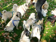 Hungarian Pug Rescue Picnic