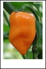 How to Make Habanero Pepper Mash and Hot Sauce