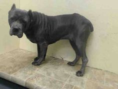 SAFE --- Brooklyn Center   YOLANDA - A1019190   FEMALE, GR BRINDLE, CANE CORSO MIX, 5 yrs STRAY - STRAY WAIT, NO HOLD Reason STRAY  Intake condition EXAM REQ Intake Date 10/30/2014, From NY 11203, DueOut Date 11/02/2014, https://www.facebook.com/Urgentdeathrowdogs/photos/pb.152876678058553.-2207520000.1415026511./897378073608406/?type=3&theater