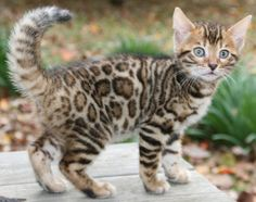 Bengal kitten with awesome rosetted fur