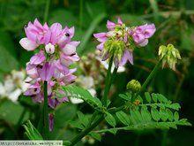 Herbář Wendys - Coronilla varia - čičorka pestrá Plants, Crowns, Plant, Planets