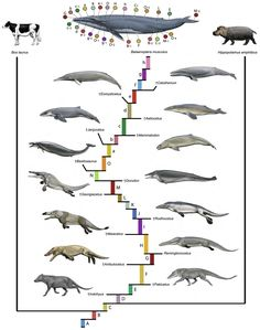"""A phylogenetic blueprint for a modern whale (Balaenoptera musculus). The topology traces the inferred evolutionary history of an extant cetacean based on results summarized in Figs. 7–9 and Table 1. Changes extend back to the base of Artiodactyla (A–D). The long sequence of character transformations on the stem lineage to crown Cetacea (branches E–O), on the stem lineage to crown Mysticeti (branches a–f), and within crown Mysticeti (branches g–h) has"