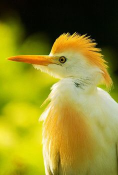 Cattle Egret • photo: Paul Pagano on Flickr