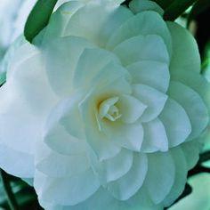 Camellia's winter-white petals stun with their geometric shape.