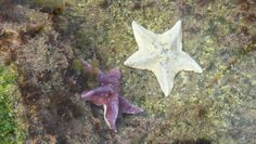 Explorer's Reef is now open! See beautiful Starfish like these! #undercovertourist #southerncalifornia