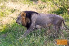 Lion Looks for a Cool Place to Rest