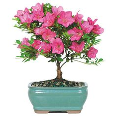 The Flowering Chinzan Azalea is one of the most popular bonsai trees that Nursery Tree Wholesalers offers. Whether you want a gift for yourself or a present for a special occasion, this bonsai tree ha