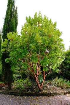 Tree Identification: Arbutus 'Marina - Hybrid Strawberry Tree