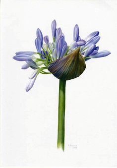 Membres. Agapanthus. Lily of the Nile. Beautiful, virtually indestructible, easy to propagate, and they COVER California!