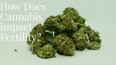 CBD-rich strains of cannabis are an exciting product of the CBD and medicinal cannabis movement. Hemp buds offer an alternative to CBD oil as a source of CBD that can be smoked, vaped or used to make edibles and ingested. Buy Cannabis Online, Buy Weed Online, Online Buying, Medical Marijuana, Cbd Oil For Sale, Edibles Online, Cannabis News, Nature, Fibromyalgia
