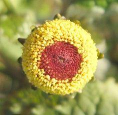 Peek a Boo Eyeball Plant Spilanthes