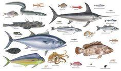 peces mediterraneo