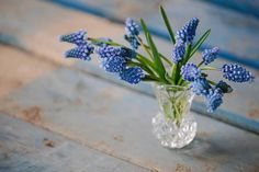 Muscari 'Blue Magic' Photo by http://www.clarewestphotography.co.uk/