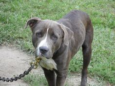 #OHIO #URGENT ~ Blue is an Am Staff in need of a loving #adopter / #rescue at  at MONROE COUNTY DOG POUND 47137 Sr.26 #Woodsfield OH 43793 Ph 740-472-0300